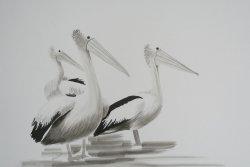 Pelicans Plus
