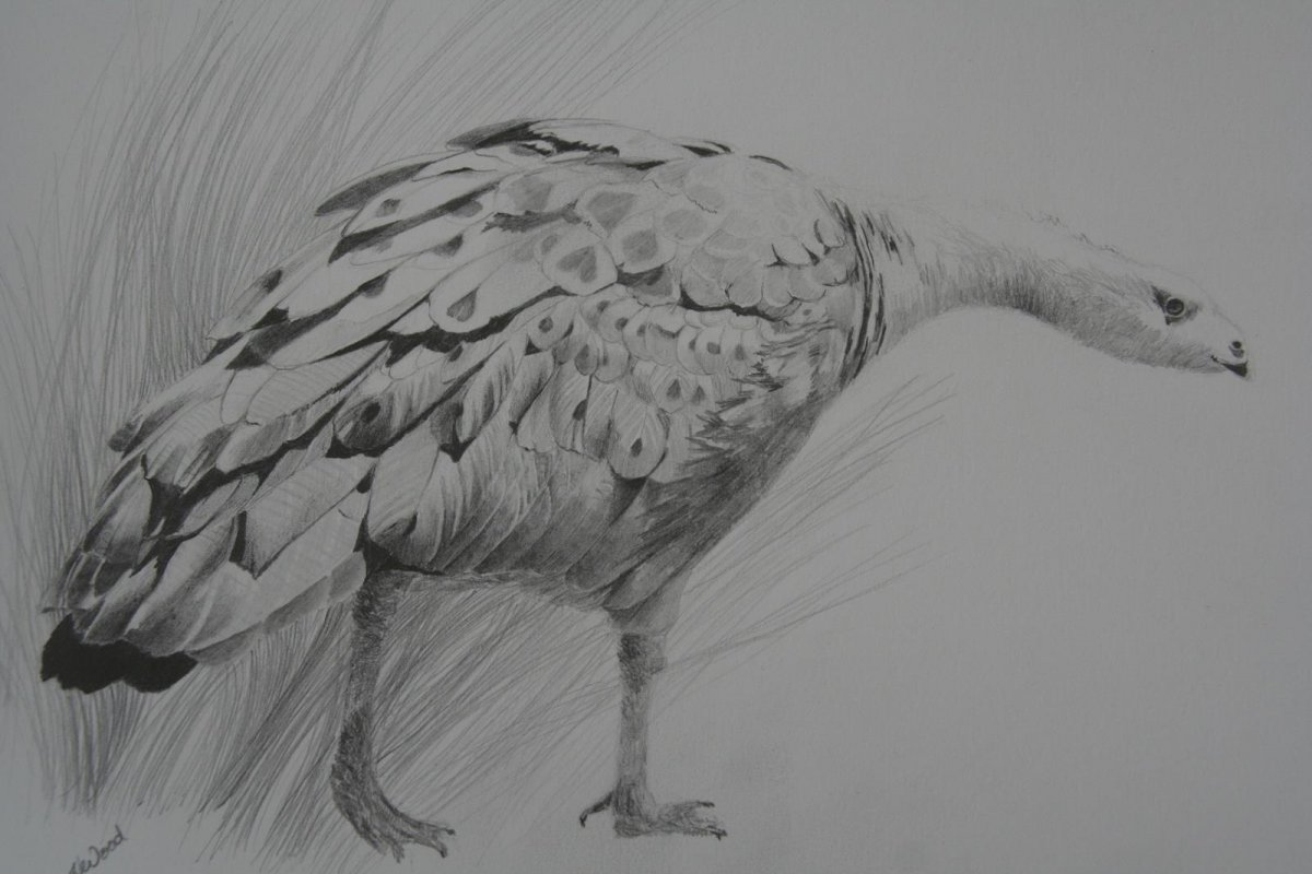 Cape Barren Goose Maria Island, drawing by artist Heather Wood