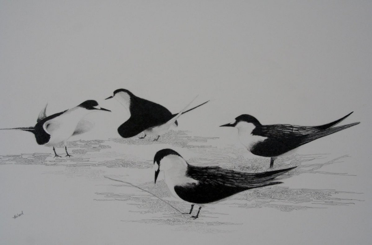 Mating Time Sooty Terns, graphite for sale by artist Heather Wood $350