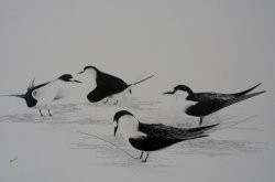 Mating Time Sooty Terns