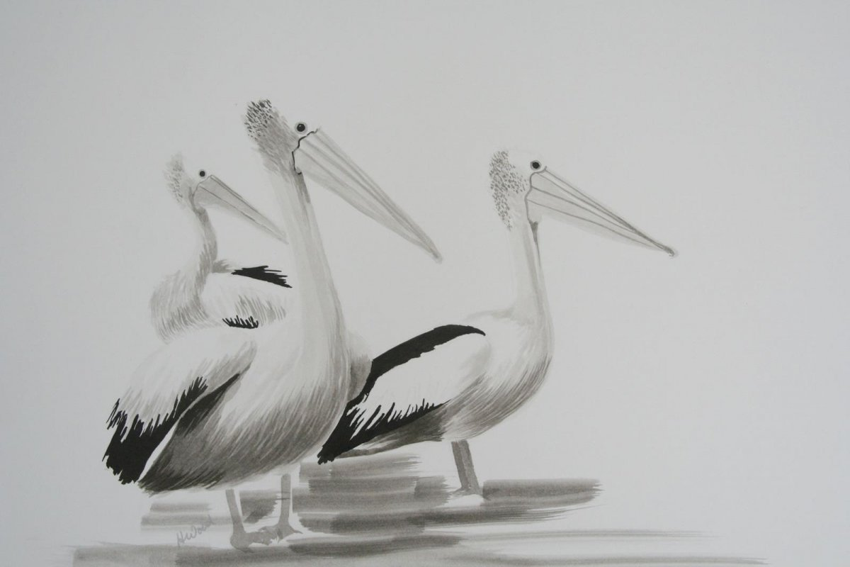 Pelicans Plus, drawings by artist Heather Wood