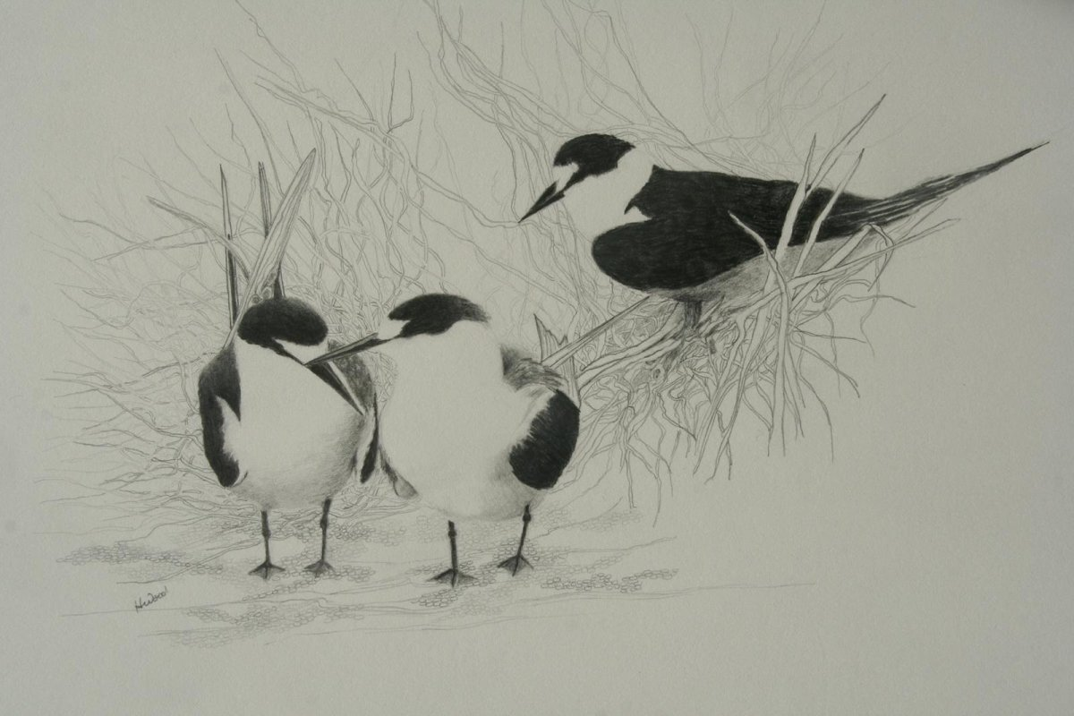 Sooty Terns Lord Howe Island, drawing by artist Heather Wood