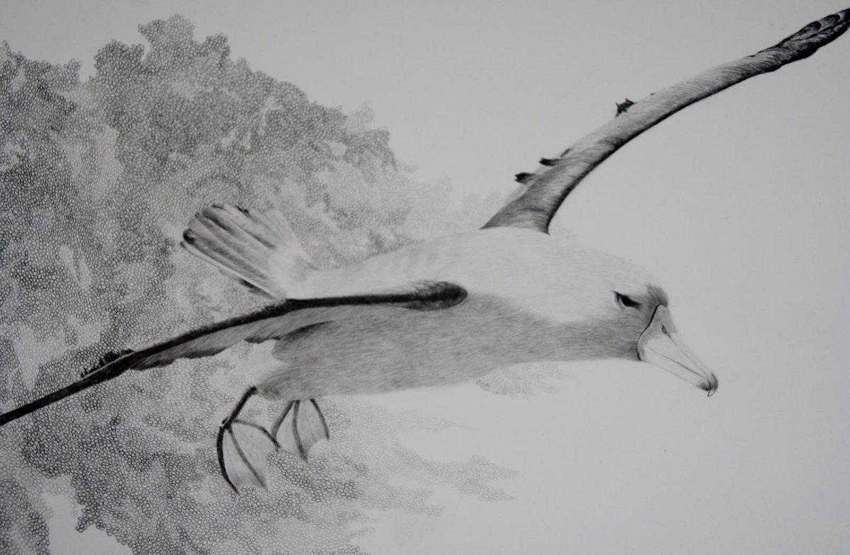 Wandering Albatross, drawing by artist Heather Wood