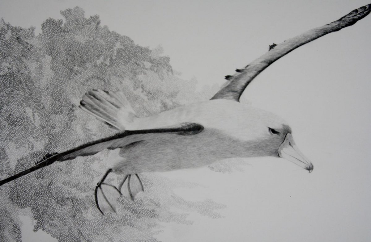 Wandering Albatross, drawing by artist Heather Wood